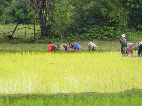 Working hard planting rice